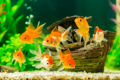 Grow an Indoor Garden with Help from Your PetGoldfish