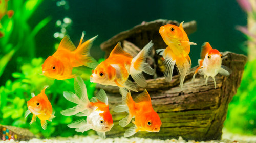 Grow-an-Indoor-Garden-with-Help-from-Your-Pet-Goldfish-ihidrousa