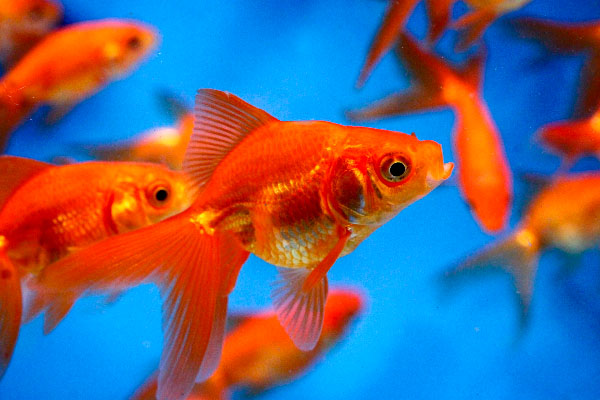 Pond fish, Goldfish, Red Fantail, Fantail goldfish, goldfish for ponds