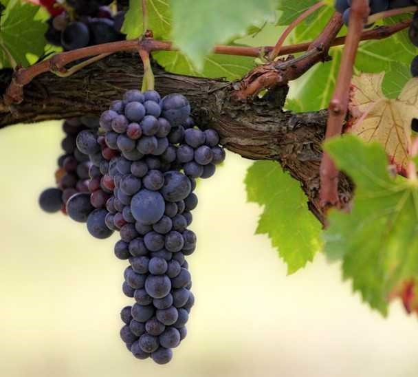 Health Benefits Of Grapes For Guinea Pigs